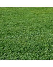 ryegrass grass seed